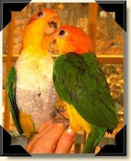 White bellied Caiques - Abby &amp; Georgie