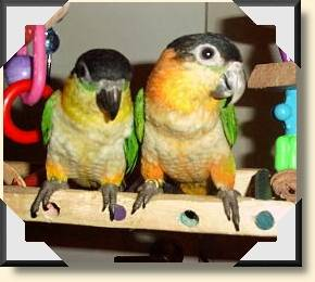 Black headed Caiques - Ashley &amp; Melanie