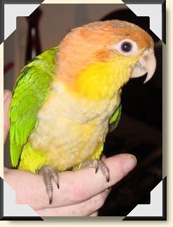 White bellied Caique - Athena