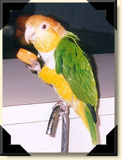 White bellied Caique - Bacardi