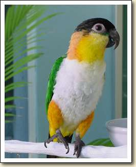 Black headed Caique - Bandi