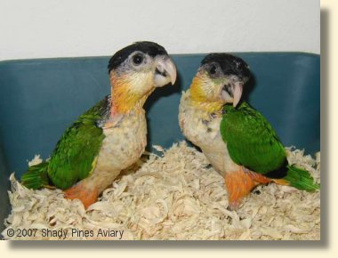 Black headed Caiques about 7 weeks old