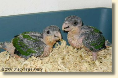 Black Headed Caiques about 5 weeks old