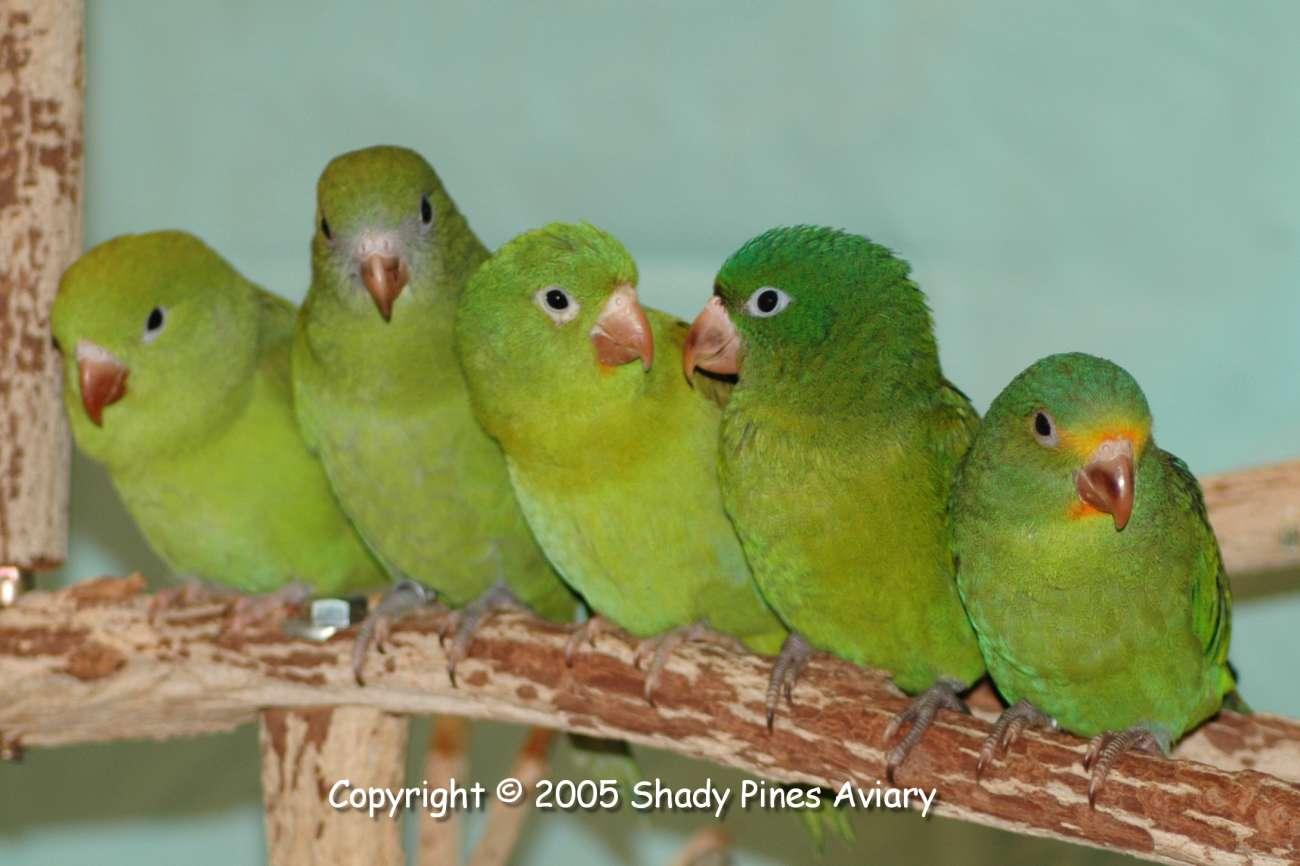 Brotogeris Breeder - Canary-wing and Orange-chin Brotogeris