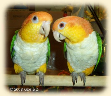 Pair of White=bellied Caiques