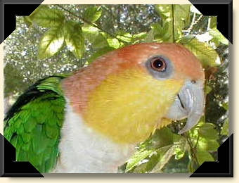 White bellied Caique - Casey