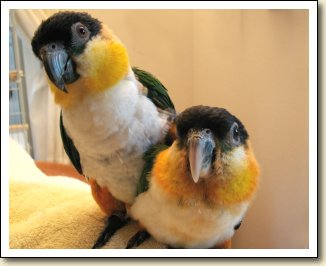 Black-headed Caiques - Charlie & Jitterbug