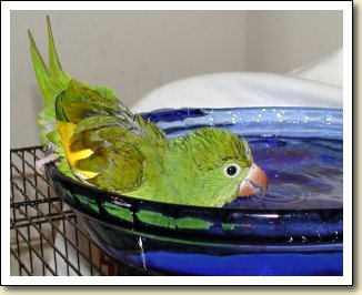Canary-wing Parakeet - Charlie