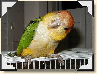 White-belly Caique - Clarence