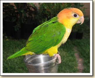 White bellied Caique - Cliffhanger
