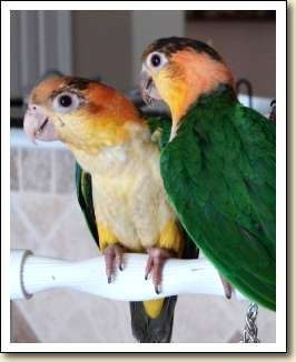 White-bellied Caiques - Clouseau & Tia