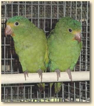 Cobalt-wing Pair