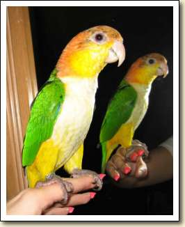 White bellied Caique - Cookie