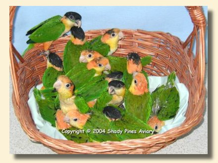Caique Breeder - White bellied & Black headed Caiques for Sale