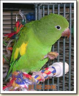 Canary-wing Parakeet - Cyrus