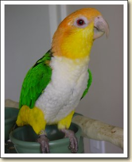 White bellied Caique - Dory