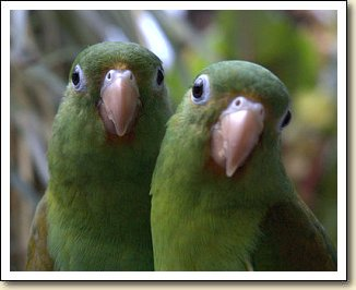 Orange-chin Parakeets - Girley Bird & Pickles