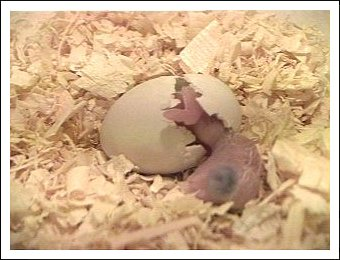 White-bellied Caique egg hatching