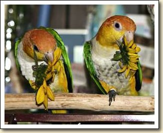 White bellied Caiques - Hans & Heidi