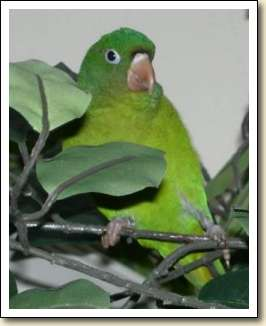 Orange-chin Golden-wing Parakeet - Harry