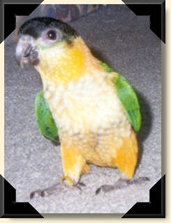 Black headed Caique - Jellybean