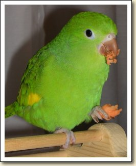 Canary-wing Parakeet - Joey