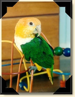 White-bellied Caique - Joey
