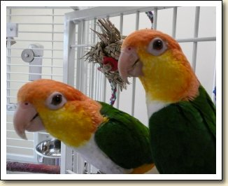 White bellied Caiques - JoJo & Chickie