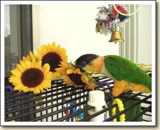 Black-headed Caique - Kali