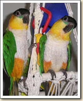 Black-headed Caiques - Karina & Yuki