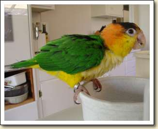 White bellied Caique - Kiki