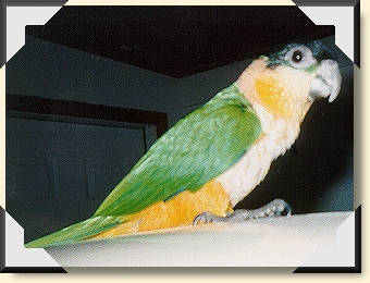 Black-headed Caique - Lenny