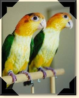 White-bellied Caiques - Libby & Fred