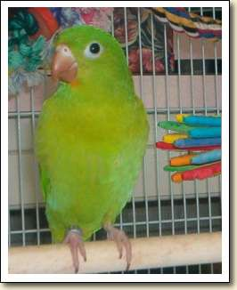 Orange-chin Parakeet - Lily