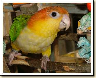 White-bellied Caique - Lily