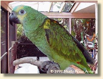 Blue-fronted Amazon 'Lucky'