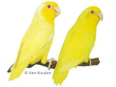 It is a Lutino with red eyes Yellow Parakeet With Red Eyes