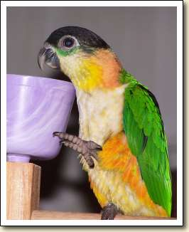 Black-headed Caique - Lydia