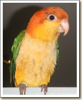 White-bellied Caique - Mango