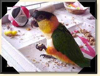 Black-headed Caique - Mango