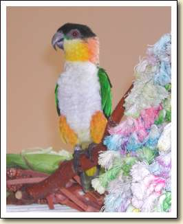 Black headed Caique - Mia