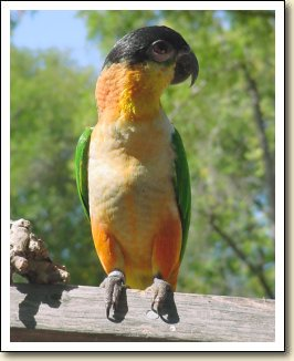 White-bellied Caique - Molly
