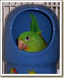 Orange-chin Parakeet - Naka Tuki