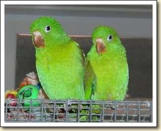 Orange-chin Parakeets - Niles & Piper