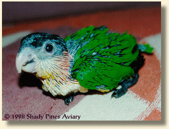 Black-headed Caique Oliv-her 6 weeks old
