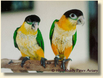 Black-headed Caiques Oliv-her & Reebok in juvenile plumage