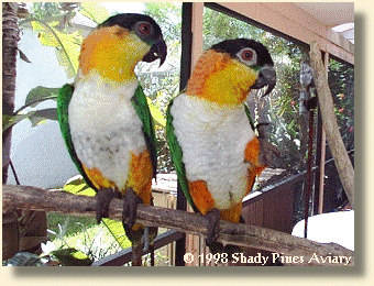 Black-headed Caiques Oliv-her & Reebok in adult plumage