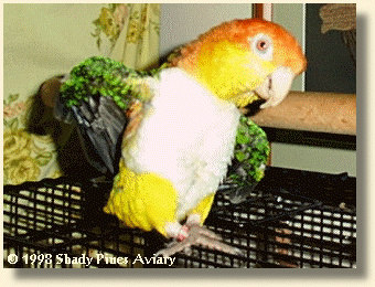 White-bellied Caique 'Ollie'