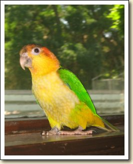 White-bellied Caique - Pablo
