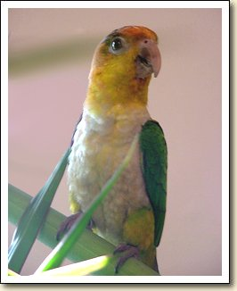 White bellied Caique - Pacqui